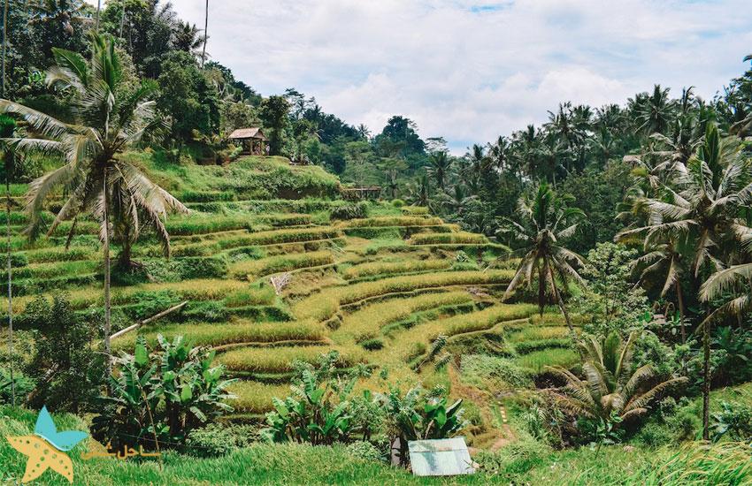 مزارع برنج تگالالانگ