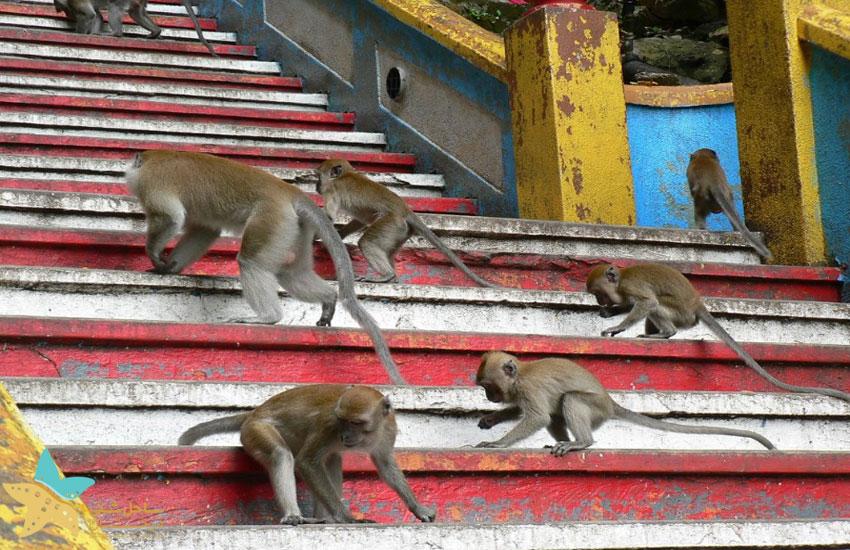 میمونهای غارهای باتو
