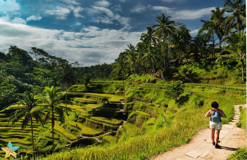 زمینهای برنج تگالالانگ اوبود بالی