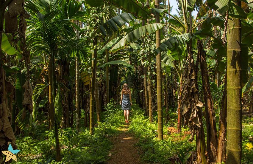مزارع ادویه در گوا هند